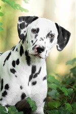 Preview iPhone wallpaper Dalmatian, black and white, dog, leaves