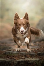 Preview iPhone wallpaper Dog running, face, front view, bokeh