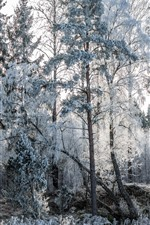 Frost, snow, trees, winter