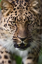 Leopard, face, green background
