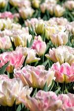 Light pink tulips, garden flowers