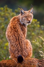 Lynx look back, grass, wildlife