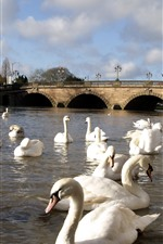 Preview iPhone wallpaper Many white swans, river, bridge