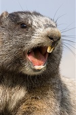 Preview iPhone wallpaper Marmot, rodent, teeth