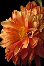 Orange dahlia close-up, black background