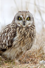 Owl, ground, grass, hazy
