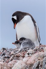 Penguins, family, birds