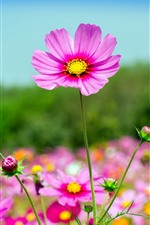Pink cosmos flowers, summer