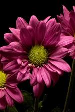 Pink flowers, chrysanthemum, black background