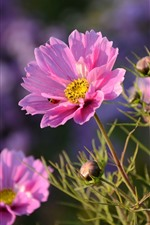 Preview iPhone wallpaper Pink kosmeya flowers, ladybug