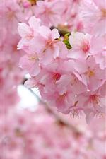 Preview iPhone wallpaper Pink sakura bloom, flowers, spring, beautiful