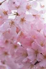 Preview iPhone wallpaper Pink sakura bloom, petals, spring, hazy