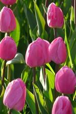 Pink tulips, green leaves, sunshine