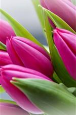 Pink tulips, leaves, hazy