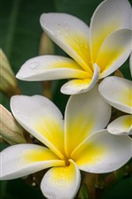 Preview iPhone wallpaper Plumeria macro photography, petals, yellow and white, water droplets