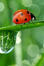 Red ladybug, green leaf, water droplet