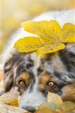 Sadness dog, yellow leaves, autumn