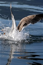 Seagull, water splash, wings