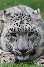 Preview iPhone wallpaper Snow leopard, grass, rest, face