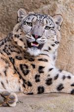 Snow leopard, rocks, big cat