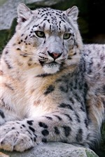 Snow leopard, wildlife, rocks