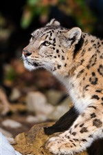 Preview iPhone wallpaper Snow leopard, winter, wildlife