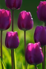 Preview iPhone wallpaper Some purple tulips, green background