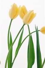 Some yellow tulips, white background