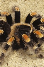 Preview iPhone wallpaper Spider, sands
