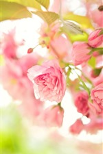 Primavera, flores rosa florescer, nebulosa