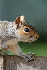 Squirrel, fence