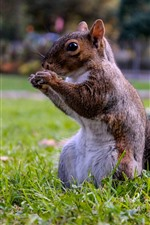 Preview iPhone wallpaper Squirrel standing on grass