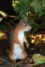 Squirrel standing up, leaves