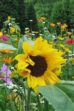 Sunflowers, daisy, spring
