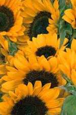 Sunflowers, yellow flowers, summer