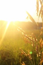 Sunrays, glare, wheat, fields, morning