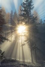 Sunrays, trees, fog, morning