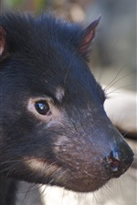 Tasmanian Devil, head, ears, eyes, nose