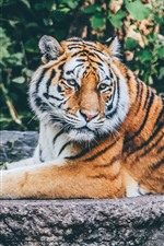 Preview iPhone wallpaper Tiger, rest, wildlife
