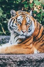Tiger, rest, wildlife