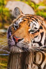 Tiger swimming in water, face