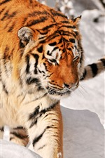 Tiger walking in the snow, cold winter