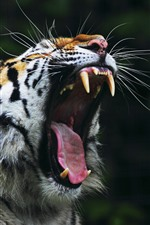 Preview iPhone wallpaper Tiger yawn, open mouth, teeth