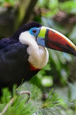 Preview iPhone wallpaper Toucan, colorful beak