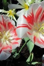 Tulips, pétalas vermelhas brancas