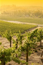 Vineyard, village, sunshine, morning