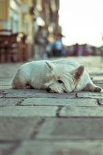 Preview iPhone wallpaper White dog rest, street