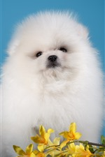 White furry puppy, black background, yellow flowers