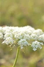 White little flowers, hazy