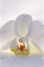 Preview iPhone wallpaper White phalaenopsis, snow